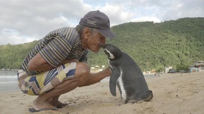 Un Pinguin Inoata 8000 km In Fiecare An  (3)
