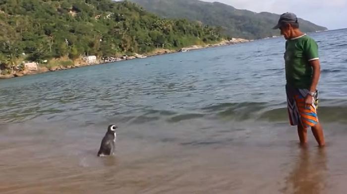 Un Pinguin Inoata 8000 km In Fiecare An  (4)