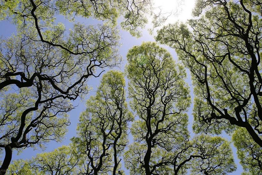 Coroana Timida - Un Fenomen Ciudat Intalnit La Unele Specii De Copaci