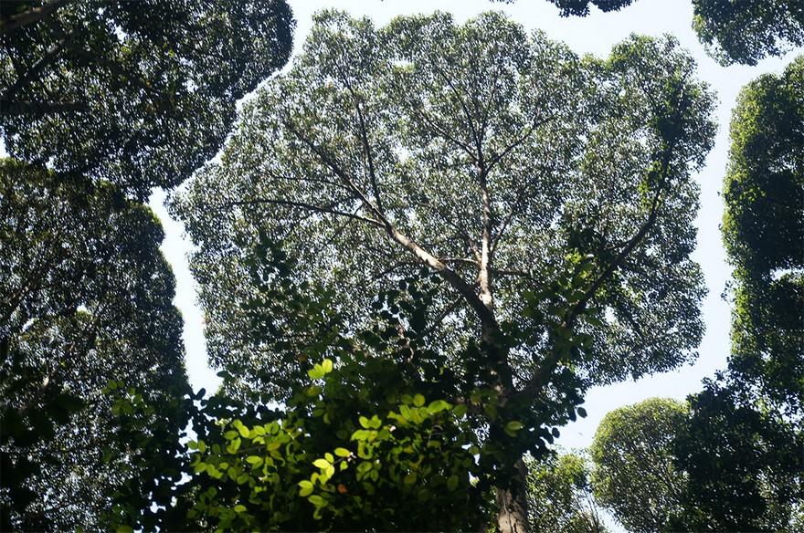 Coroana Timida - Un Fenomen Ciudat Intalnit La Unele Specii De Copaci 3