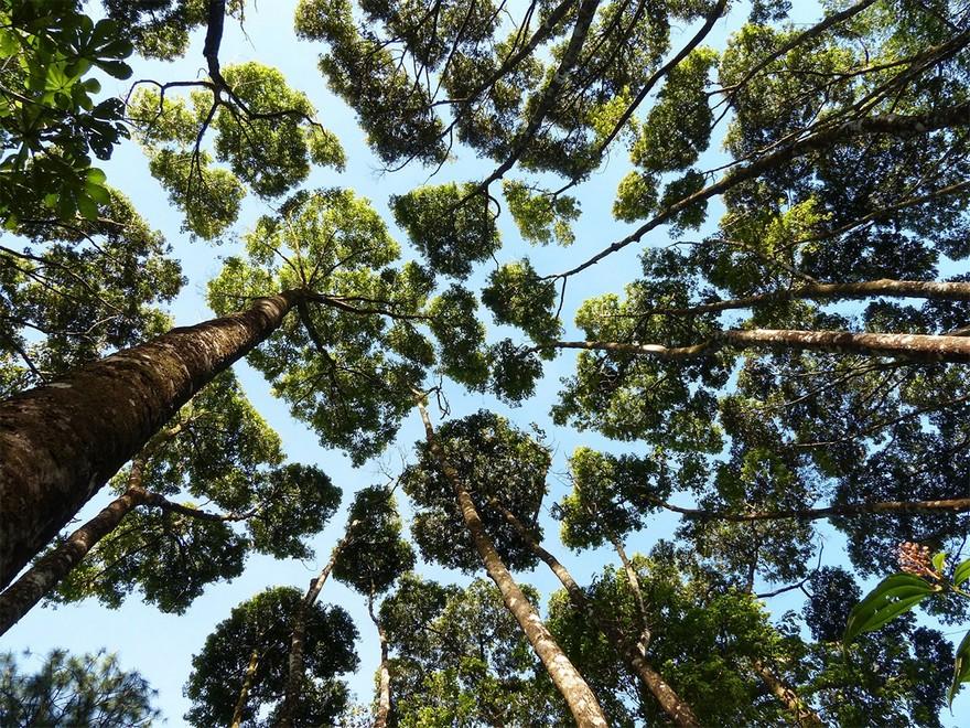 Coroana Timida - Un Fenomen Ciudat Intalnit La Unele Specii De Copaci 5